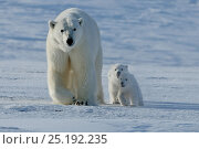 Купить «Polar bear (Ursus maritimus) mother with three very young cubs, Wrangel Island, Far Eastern Russia, March.», фото № 25192235, снято 16 октября 2018 г. (c) Nature Picture Library / Фотобанк Лори