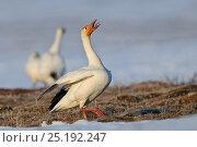 Купить «Snow goose (Chen caerulescens caerulescens) calling in courtship display, Wrangel Island, Far Eastern Russia, May.», фото № 25192247, снято 18 января 2020 г. (c) Nature Picture Library / Фотобанк Лори