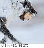 Купить «Arctic fox (Vulpes lagopus) with Snow goose egg in mouth, mid moult from winter to summer fur, Wrangel Island, Far Eastern Russia, June.», фото № 25192275, снято 25 мая 2019 г. (c) Nature Picture Library / Фотобанк Лори
