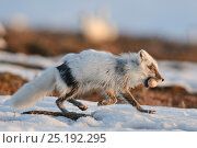 Купить «Arctic fox (Vulpes lagopus) with Snow goose egg in mouth, mid moult from winter to summer fur, Wrangel Island, Far Eastern Russia, May.», фото № 25192295, снято 25 мая 2019 г. (c) Nature Picture Library / Фотобанк Лори