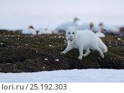 Купить «Arctic fox (Vulpes lagopus) in winter fur, stealing Snow goose egg, Wrangel Island, Far Eastern Russia, June.», фото № 25192303, снято 18 апреля 2019 г. (c) Nature Picture Library / Фотобанк Лори