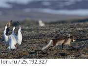 Купить «Arctic fox (Vulpes lagopus) in summer moult stealing Snow goose (Chen caerulescens caerulescens) egg, with Snow goose flapping wings can calling, Wrangel Island, Far Eastern Russia, June.», фото № 25192327, снято 16 июня 2019 г. (c) Nature Picture Library / Фотобанк Лори