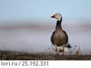 Купить «Snow goose (Chen caerulescens) blue morph, Wrangel Island, Far Eastern Russia, June.», фото № 25192331, снято 18 января 2020 г. (c) Nature Picture Library / Фотобанк Лори