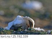 Купить «Snow goose (Chen caerulescens caerulescens) brooding chicks, Wrangel Island, Far Eastern Russia, June.», фото № 25192339, снято 18 января 2020 г. (c) Nature Picture Library / Фотобанк Лори