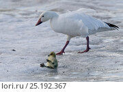Купить «Snow goose (Chen caerulescens caerulescens) parent with chick which has fallen over on the ice, Wrangel Island, Far Eastern Russia, June.», фото № 25192367, снято 20 октября 2018 г. (c) Nature Picture Library / Фотобанк Лори