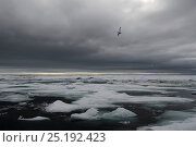 Купить «View to sea with pack ice and dark clouds, and gull flying overhead, Wrangel Island, Far Eastern Russia, August 2012.», фото № 25192423, снято 23 мая 2019 г. (c) Nature Picture Library / Фотобанк Лори