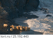 Купить «Polar bear (Ursus maritimus) group feeding on carcass on beach, Wrangel Island, Far Eastern Russia, September.», фото № 25192443, снято 19 августа 2019 г. (c) Nature Picture Library / Фотобанк Лори