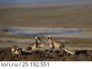 Купить «Arctic foxes (Vulpes lagopus) playing, in summer fur,  Wrangel Island, Far Eastern Russia, August.», фото № 25192551, снято 27 мая 2019 г. (c) Nature Picture Library / Фотобанк Лори