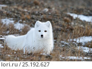 Купить «Arctic fox (Vulpes lagopus) in winter fur, resting, Wrangel Island, Far Eastern Russia, October.», фото № 25192627, снято 16 июня 2019 г. (c) Nature Picture Library / Фотобанк Лори