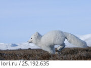 Купить «Arctic fox (Vulpes lagopus)  in winter coat running, Wrangel Island, Far Eastern Russia, October.», фото № 25192635, снято 27 мая 2019 г. (c) Nature Picture Library / Фотобанк Лори