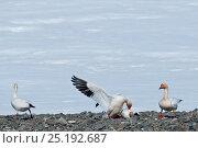 Купить «Snow geese (Chen caerulescens caerulescens) fighting,Wrangel Island, Far Eastern Russia, May.», фото № 25192687, снято 19 сентября 2019 г. (c) Nature Picture Library / Фотобанк Лори