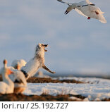 Купить «Snow goose (Chen caerulescens caerulescens) mobbing Arctic fox (Vulpes lagopus) trying to steal eggs, Wrangel Island, Far Eastern Russia, May.», фото № 25192727, снято 16 июня 2019 г. (c) Nature Picture Library / Фотобанк Лори