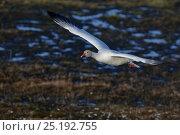 Купить «Snow goose (Chen caerulescens) in flight, Wrangel Island, Far Eastern Russia, June.», фото № 25192755, снято 18 января 2020 г. (c) Nature Picture Library / Фотобанк Лори