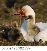 Купить «Snow goose (Chen caerulescens caerulescens) with chicks. Rusty orange face from iron rich soil in which it forages. Wrangel Island, Far Eastern Russia, June.», фото № 25192787, снято 18 января 2020 г. (c) Nature Picture Library / Фотобанк Лори