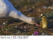 Купить «Snow goose (Chen caerulescens caerulescens) trying to move chick, Wrangel Island, Far Eastern Russia, June.», фото № 25192807, снято 27 мая 2019 г. (c) Nature Picture Library / Фотобанк Лори
