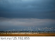 Купить «Flock of Snow geese (Chen caerulescens caerulescens) taking off in distance, Wrangel Island, Far Eastern Russia, August.», фото № 25192855, снято 17 января 2020 г. (c) Nature Picture Library / Фотобанк Лори