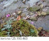Купить «Цветущие цикламены на берегу лесной реки», фото № 25193463, снято 26 января 2017 г. (c) DiS / Фотобанк Лори