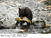 Купить «Black bear (Ursus americanus) sow with caught chum/dog salmon (Oncorhynchus keta), Kake Village, Kuprenof Island, SE Alaska, USA. August.», фото № 25193727, снято 24 июня 2018 г. (c) Nature Picture Library / Фотобанк Лори
