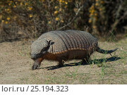 Large hairy armadillo (Chaetophractus villosus) Valdes Peninsula, Chubut, Patagonia, Argentina. Стоковое фото, фотограф Gabriel Rojo / Nature Picture Library / Фотобанк Лори