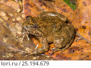 Купить «Kuhl's Creek Frog (Limnonectes kuhlii) Kinabalu National Park, Sabah, Borneo.», фото № 25194679, снято 24 ноября 2017 г. (c) Nature Picture Library / Фотобанк Лори