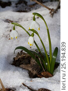 Купить «Spring Snowflake (Leucojum vernum) in snow, Lammer Holz, Brunswick, Lower Saxony, Germany, March.», фото № 25194839, снято 23 октября 2019 г. (c) Nature Picture Library / Фотобанк Лори