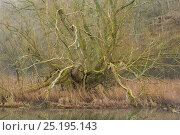 Купить «Crack willow (Salix fragilis) Monsal Dale, Derbyshire, Peak District National Park, England, UK, February.», фото № 25195143, снято 19 июля 2018 г. (c) Nature Picture Library / Фотобанк Лори