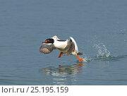 Купить «Goosander (Mergus merganser) male taking off,  Lake Geneva, Switzerland, March.», фото № 25195159, снято 27 мая 2020 г. (c) Nature Picture Library / Фотобанк Лори