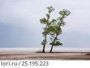 Купить «White mangrove trees (Sonneratia alba) Bako National Park, Sarawak, Borneo.», фото № 25195223, снято 10 июля 2020 г. (c) Nature Picture Library / Фотобанк Лори