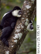 Купить «Eastern Black-and-white Colobus (Colobus guereza) monkeys sitting in a tree. Kakamega Forest National Reserve, Western Province, Kenya», фото № 25195747, снято 14 ноября 2019 г. (c) Nature Picture Library / Фотобанк Лори