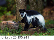 Купить «Eastern Black-and-white Colobus (Colobus guereza) walking on the ground. Kakamega Forest South, Western Province, Kenya», фото № 25195911, снято 21 января 2020 г. (c) Nature Picture Library / Фотобанк Лори