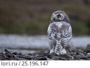 Купить «Snowy owl (Bubo scandiacus) looking back over shoulder, Wrangel Island, Far Eastern Russia, August.», фото № 25196147, снято 17 декабря 2018 г. (c) Nature Picture Library / Фотобанк Лори