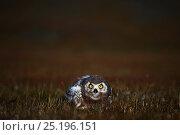 Купить «Snowy owl (Bubo scandiacus) fledgling, Wrangel Island, Far Eastern Russia, August.», фото № 25196151, снято 25 августа 2019 г. (c) Nature Picture Library / Фотобанк Лори