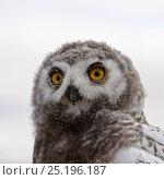 Купить «Snowy owl (Bubo scandiacus) fledgling portrait, Wrangel Island, Far Eastern Russia, August.», фото № 25196187, снято 22 мая 2018 г. (c) Nature Picture Library / Фотобанк Лори