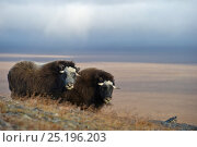 Купить «Musk ox (Ovibos moschatus) two in habitat, Wrangel Island, Far Eastern Russia, September.», фото № 25196203, снято 1 января 2019 г. (c) Nature Picture Library / Фотобанк Лори