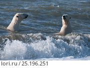 Купить «Polar bears (Ursus maritimus) juveniles playing in waves, Wrangel Island, Far Eastern Russia. September 2010.», фото № 25196251, снято 22 января 2019 г. (c) Nature Picture Library / Фотобанк Лори