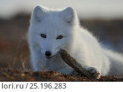 Купить «Arctic fox (Vulpes lagopus) in winter fur, playing with some wood, Wrangel Island, Far Eastern Russia, October.», фото № 25196283, снято 27 мая 2019 г. (c) Nature Picture Library / Фотобанк Лори