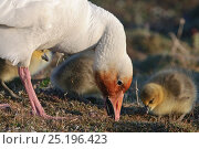 Купить «Snow goose (Chen caerulescens caerulescens) with chicks. Rusty orange face from iron rich soil in which it forages. Wrangel Island, Far Eastern Russia, June.», фото № 25196423, снято 18 января 2020 г. (c) Nature Picture Library / Фотобанк Лори