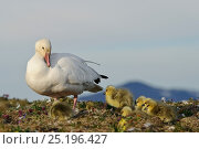 Купить «Snow goose (Chen caerulescens caerulescens) with chicks, Wrangel Island, Far Eastern Russia, June.», фото № 25196427, снято 16 июня 2019 г. (c) Nature Picture Library / Фотобанк Лори