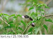 Купить «Grayish Saltator (Saltator coerulescens) Pantanal, Mato Grosso State, Western Brazil.», фото № 25196935, снято 26 мая 2018 г. (c) Nature Picture Library / Фотобанк Лори