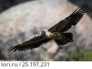 Juvenile Bearded Vulture (Gypaetus barbatus) in flight, Bale Mountains National Park, Ethiopia. Стоковое фото, фотограф Will Burrard-Lucas / Nature Picture Library / Фотобанк Лори