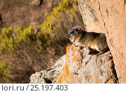 Rock hyrax (Procavia capensis) Bale Mountains National Park, Ethiopia. Стоковое фото, фотограф Will Burrard-Lucas / Nature Picture Library / Фотобанк Лори