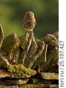 Little Owl (Athene noctua) on stone wall, Wales, UK, June. Стоковое фото, фотограф Andy Rouse / Nature Picture Library / Фотобанк Лори
