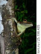 Купить «Rusty tree frog (Hypsiboas boans) on branch, French Guiana.», фото № 25198435, снято 18 июля 2019 г. (c) Nature Picture Library / Фотобанк Лори