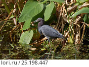 Купить «Little blue heron (Egretta caerulea) with frog prey, Florida, USA, February.», фото № 25198447, снято 27 января 2020 г. (c) Nature Picture Library / Фотобанк Лори