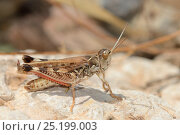Moroccan Locust (Dociostaurus maroccanus), a species capable of forming devastating swarms, standing on a rock near the coast, Crete, Greece, May. Стоковое фото, фотограф Nick Upton / Nature Picture Library / Фотобанк Лори