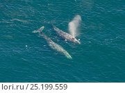 Grey whale (Eschrichtius robustus) exhaling at the surface, aerial... Стоковое фото, фотограф Bertie Gregory / Nature Picture Library / Фотобанк Лори