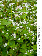 Купить «Buckwheat (Fagopyrum esculentum) flowering, Bavaria, Germany, July», фото № 25200575, снято 21 апреля 2018 г. (c) Nature Picture Library / Фотобанк Лори