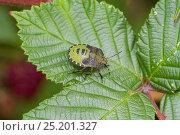 Купить «Immature Green Shield Bug (Palomena prasina)  Brockley cemetery, Lewisham, London, England, UK, October.», фото № 25201327, снято 16 октября 2019 г. (c) Nature Picture Library / Фотобанк Лори