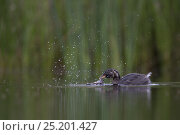 Купить «Little Grebe (Tachybaptus ruficollis) newly independent fledgling age 41 days, feeding Common Spadefoot (Pelobates fuscus) larvae. This was the first succesful...», фото № 25201427, снято 16 августа 2018 г. (c) Nature Picture Library / Фотобанк Лори