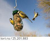 Купить «Great tits (Parus major) at fat ball feeder in garden, Norfolk, England, UK, December.», фото № 25201883, снято 23 июля 2018 г. (c) Nature Picture Library / Фотобанк Лори